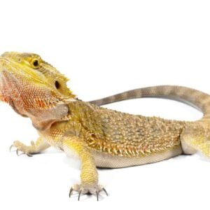 How Big Will Your Bearded Dragon Grow?