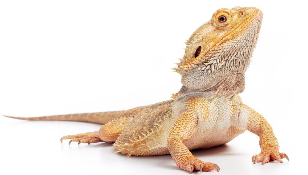 bearded dragon white bgg 1 e1575809941474