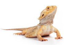 Bearded Dragon Care Guide & Prices