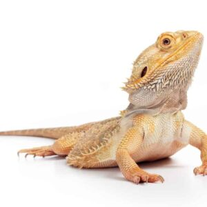Bearded Dragon - Care Guide & Prices