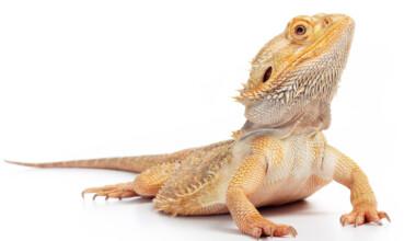 bearded dragon white bgg