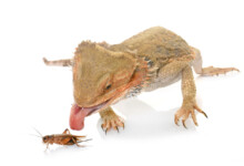 How Many Crickets Should You Feed Your Bearded Dragon?