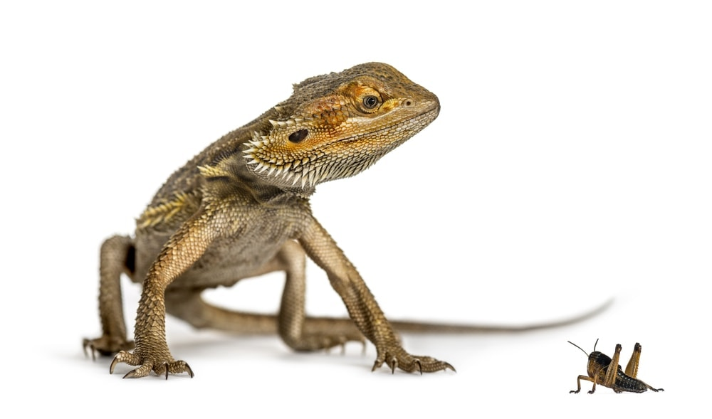 bearded dragon with cricket