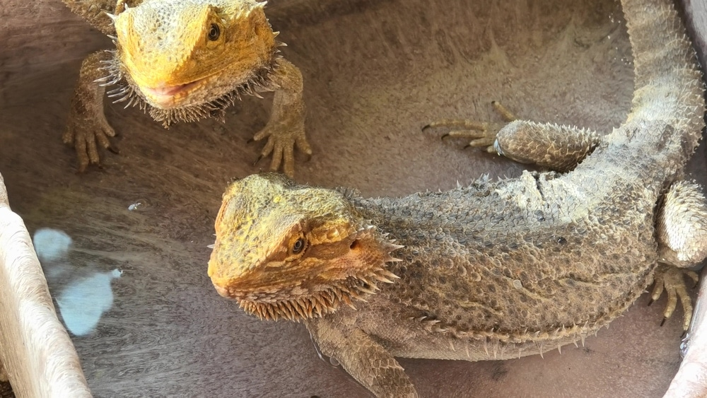 bearded dragons 2