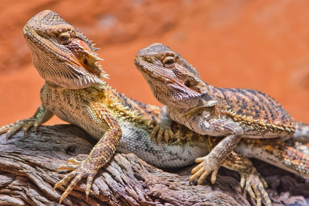 bearded dragons on log