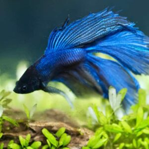 How to Setup a Betta Fish Tank