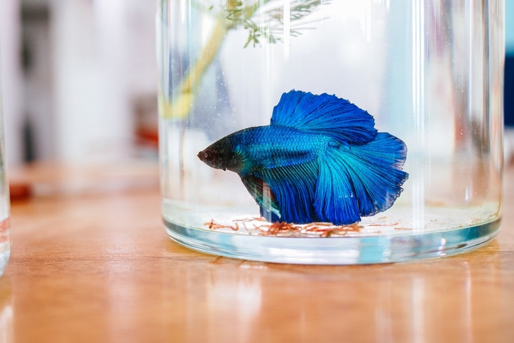 blue betta in bowl