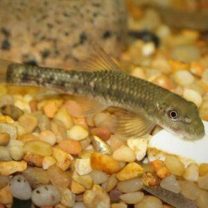 Top 5 Bottom Dweller / Bottom Feeder Fish