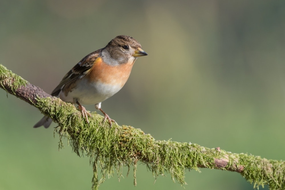 brambling finch