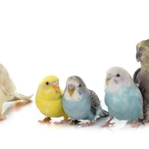 Budgie vs Cockatiel - Which is right for you?