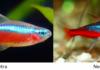 Neon Tetras vs. Cardinal Tetras Differences