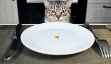 cat eat from plate
