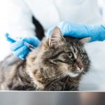 What is FIV Vaccine and why is it not Available Anymore?