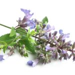 Does Catnip Affect Dogs?