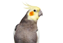 Cockatiel - Care Guide - Types, Lifespan & More
