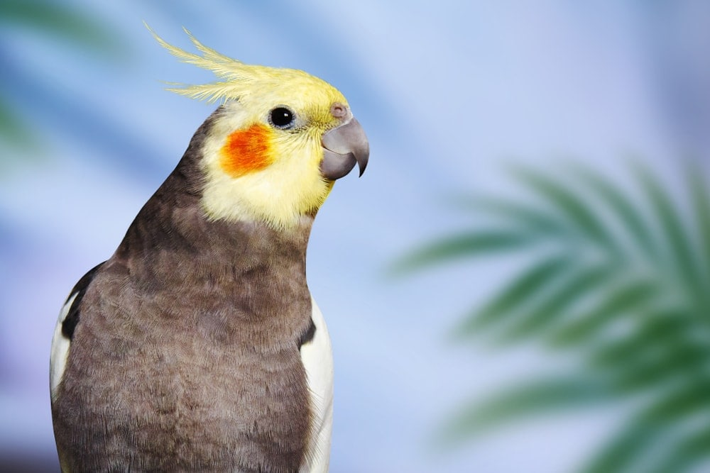 cockatiel close up