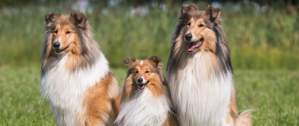 collies and shelties red and white e1575990502738