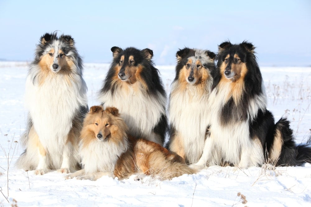 collies and shelties together