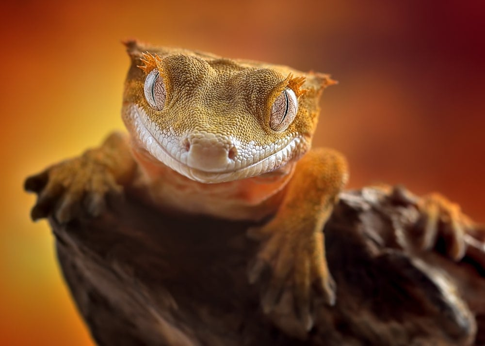 cool Crested Gecko