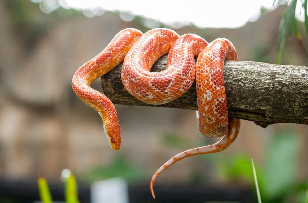 corn snake around tree