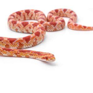 How Long Do Corn Snakes Live in Captivity?