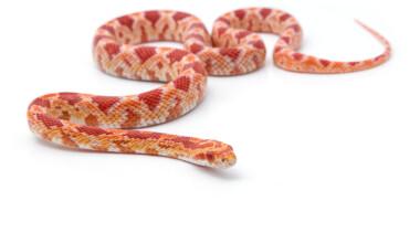 corn snake white background