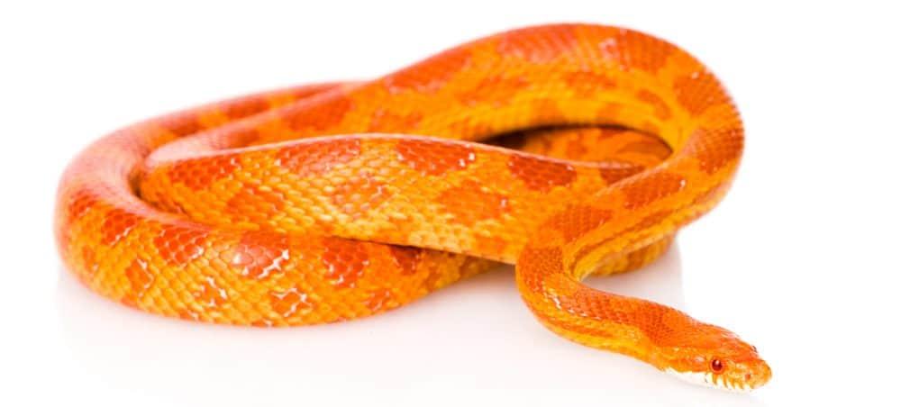 corn snake white bg 1 e1575991953289