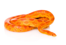 Corn Snake Care Guide & Prices
