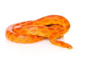 Corn Snake – Care Guide & Prices