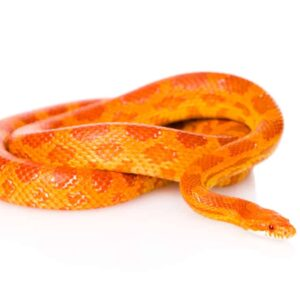 Corn Snake - Care Guide & Prices