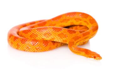 corn snake white bg