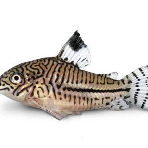 Cory Catfish - Care Guide