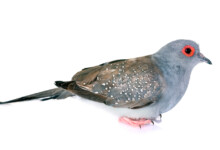 Diamond Dove Care Guide - Types, Lifespan & More