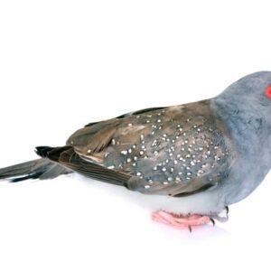 Diamond Dove - Care Guide, Information & Price