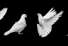 Dove Care Guide - Types, Lifespan & More