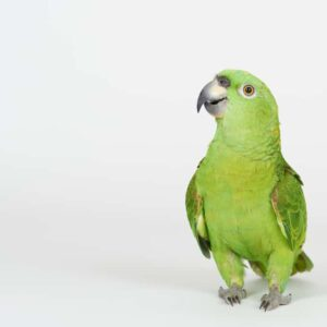 Amazon Parrot - Care Guide, Info & Price
