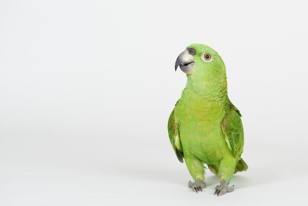 funnny amazon parrot