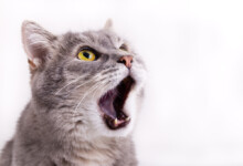 Why Your Cat Won't Stop Meowing