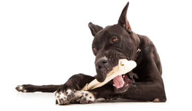 great dane and a bone 1