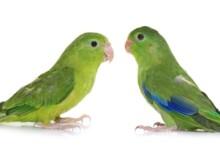 Pacific Parrotlet Care Guide - Diet, Lifespan & More