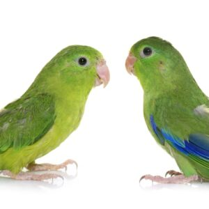 Pacific Parrotlet - Care Guide, Information & Price