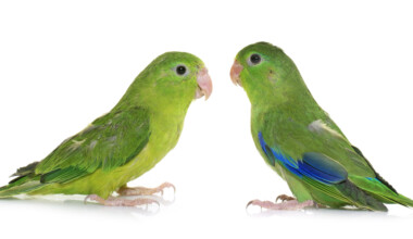 green Pacific Parrotlets