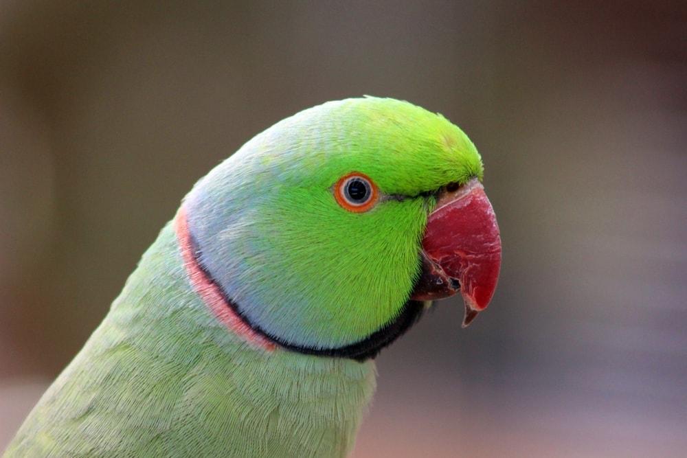 green parakeett