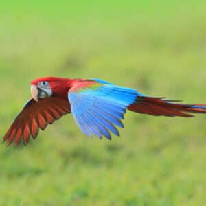 Green-Winged Macaw Care Guide, Info & Price