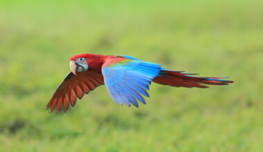 green winged macaw flying 1