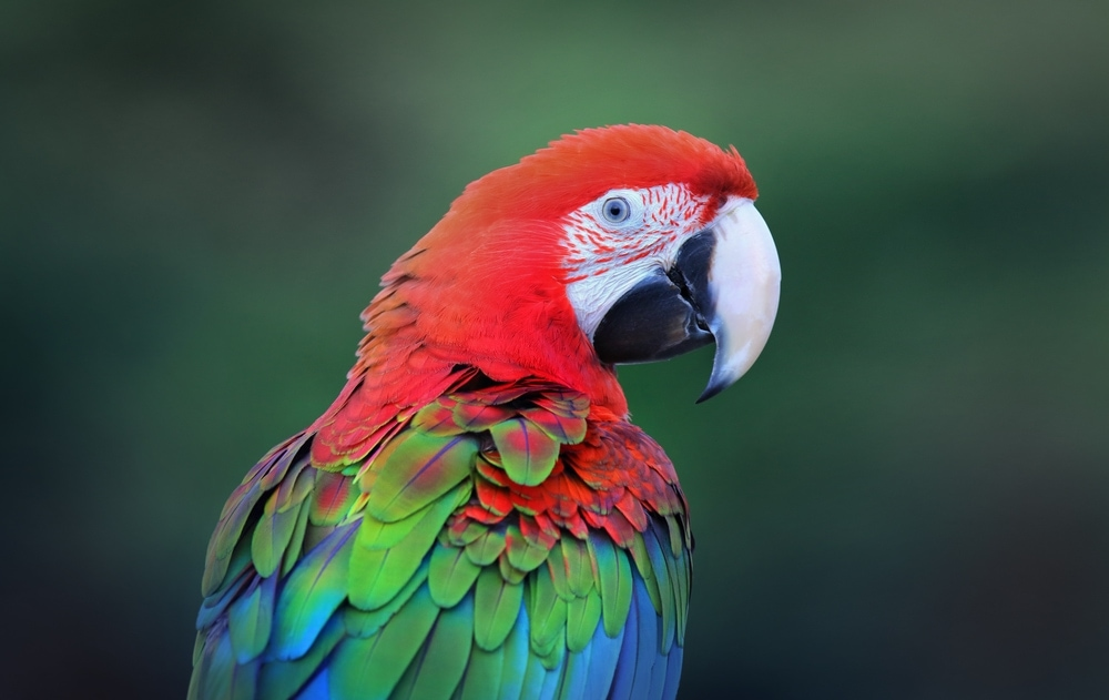 green winged macaw portrait