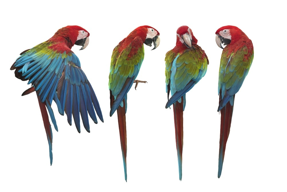 green winged macaw white background