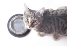 What to do if your Cat is Always Hungry