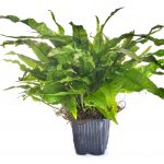 Java Fern Microsorum Pteropus - Plant Guide