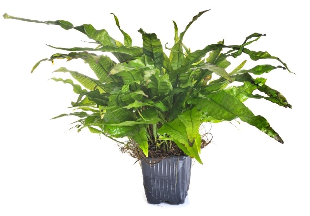 java fern white background